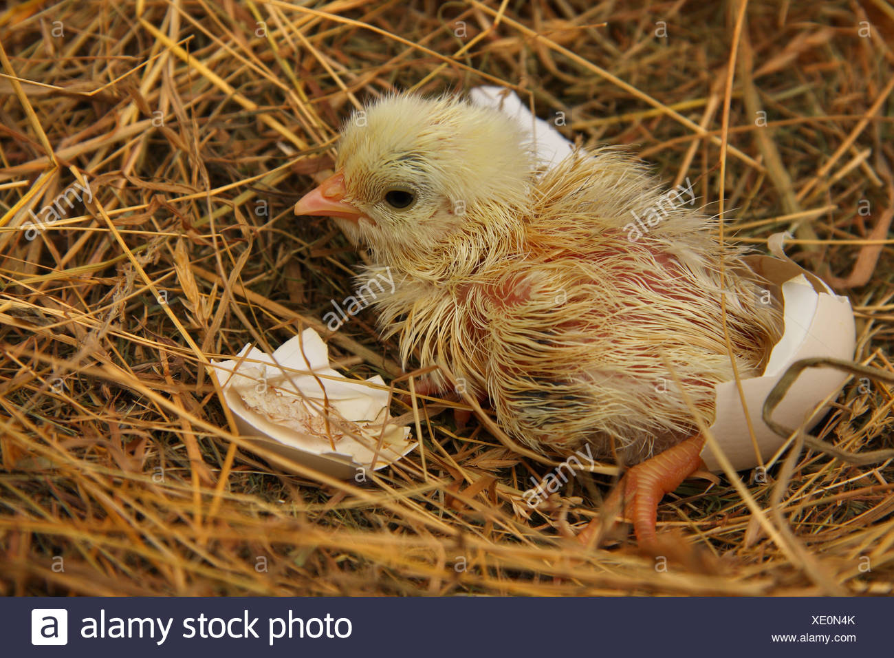 a recently hatched chicken chick in the nest still damp and with