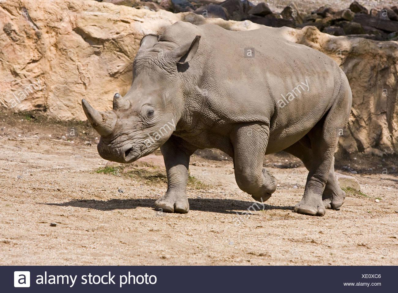 running square-lipped rhinoceros - Stock Image