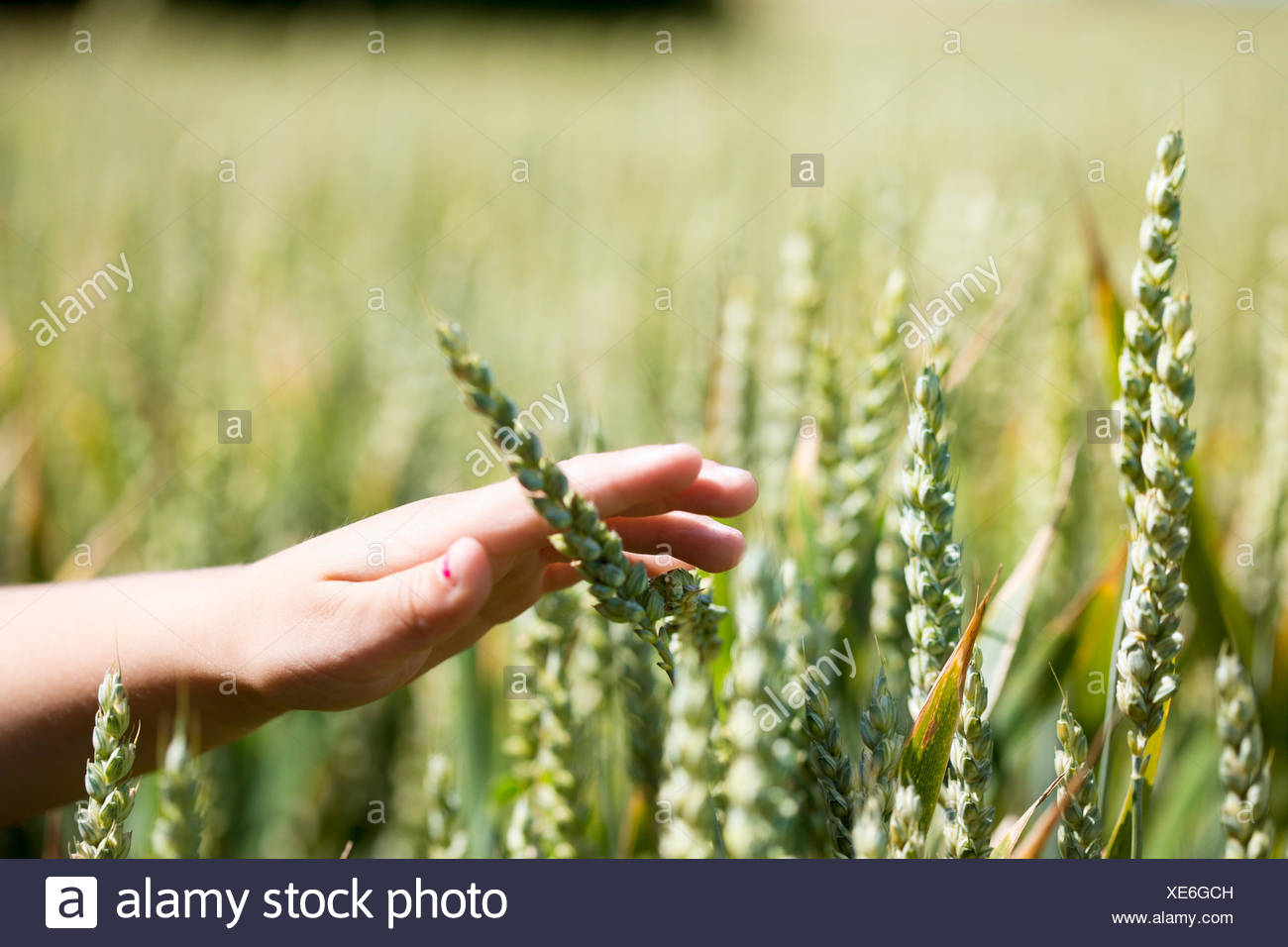 Cropland in Sweden - Stock Image