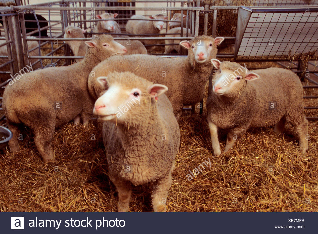 the cloning of dolly sheep Cloning is a technique of creating organisms that are exactly the same as their parent or the original one from which they are created since the beginning of the cloning phenomenon that was first carried out by hans spemann in 1938 when he split salamander embryonic cells using baby hair and found.