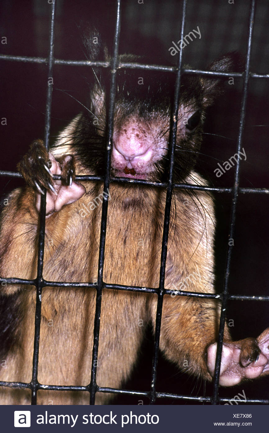 Indian giant squirrel (Ratufa indica), behind bars - Stock Image