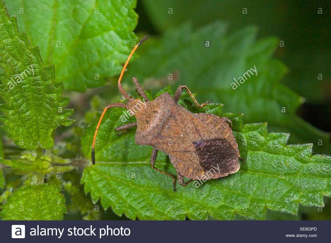 Squash bug (Coreus marginatus, Mesocerus marginatus), sitting on a leaf, Germany - Stock Image
