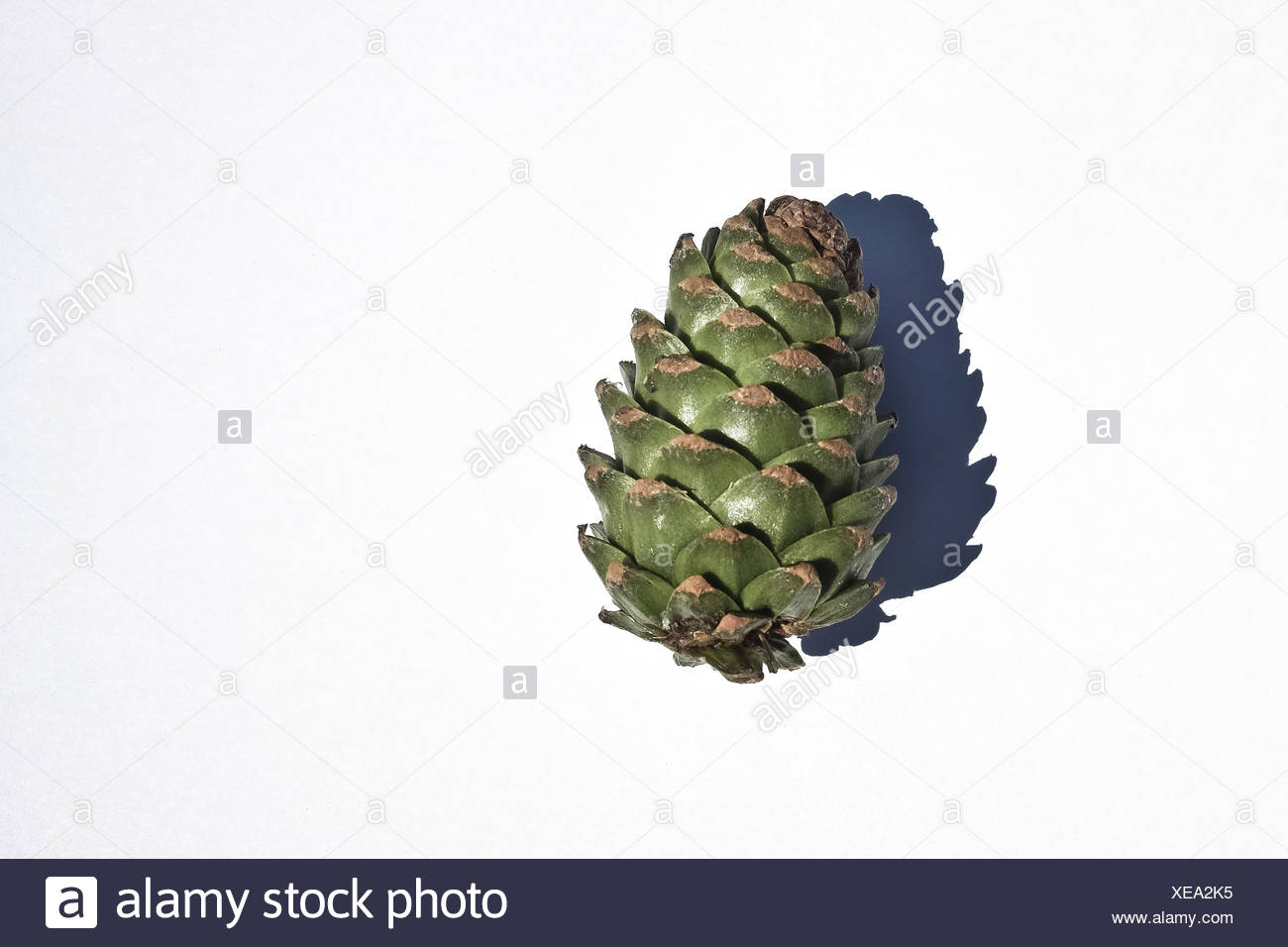 Pine cone against white background - Stock Image
