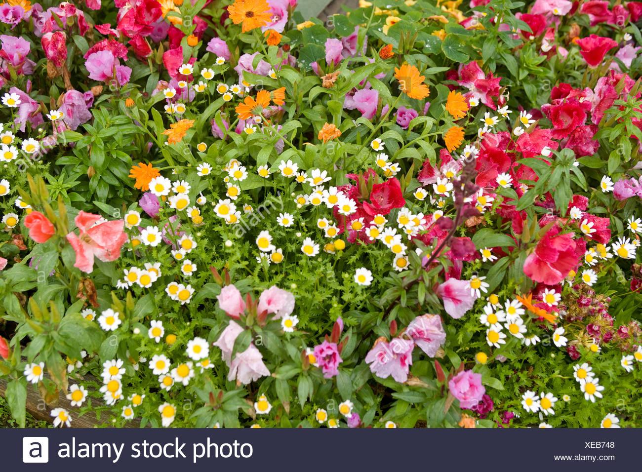 Colorful flowers at the Gustavus Inn at Gustavus, Alaska. - Stock Image
