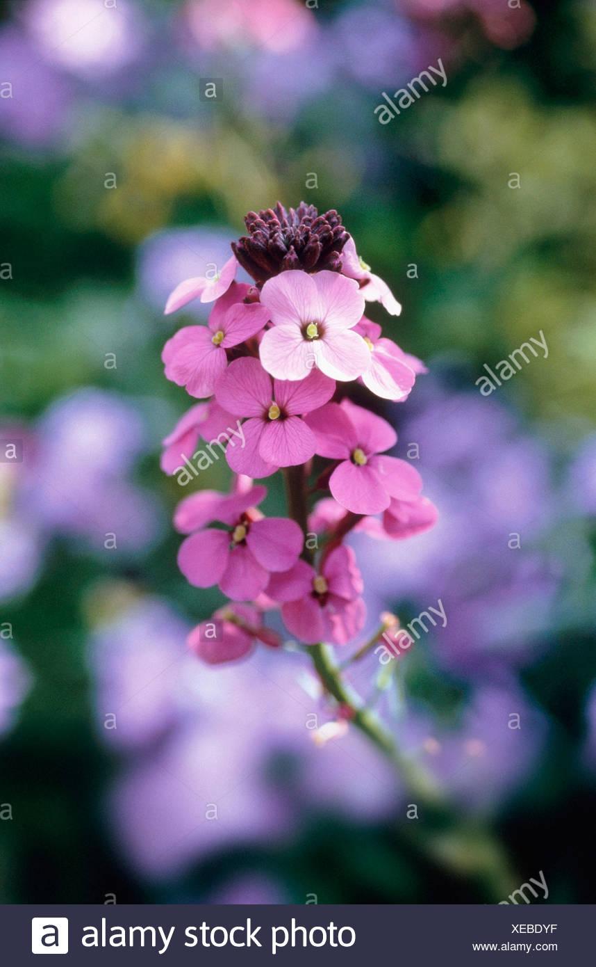 Erysimum Bowles Mauve Wallflower Perennial Wallflower Pink Flowers