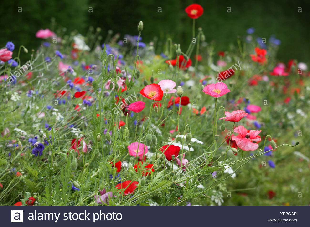 Summer flowering annuals pink and red poppies with blue cornflowers summer flowering annuals pink and red poppies with blue cornflowers izmirmasajfo