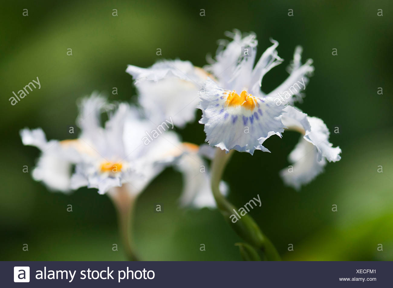 Iris japonica two pale blue flowers with ruffled frill to petals two pale blue flowers with ruffled frill to petals and an orange crest on each fall izmirmasajfo