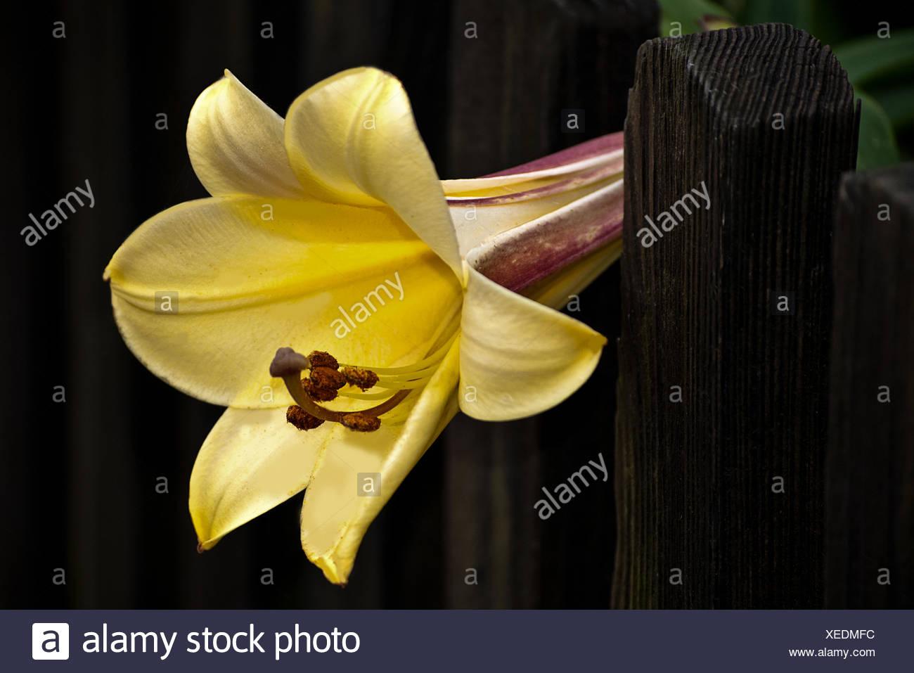 gigantic lily - Stock Image