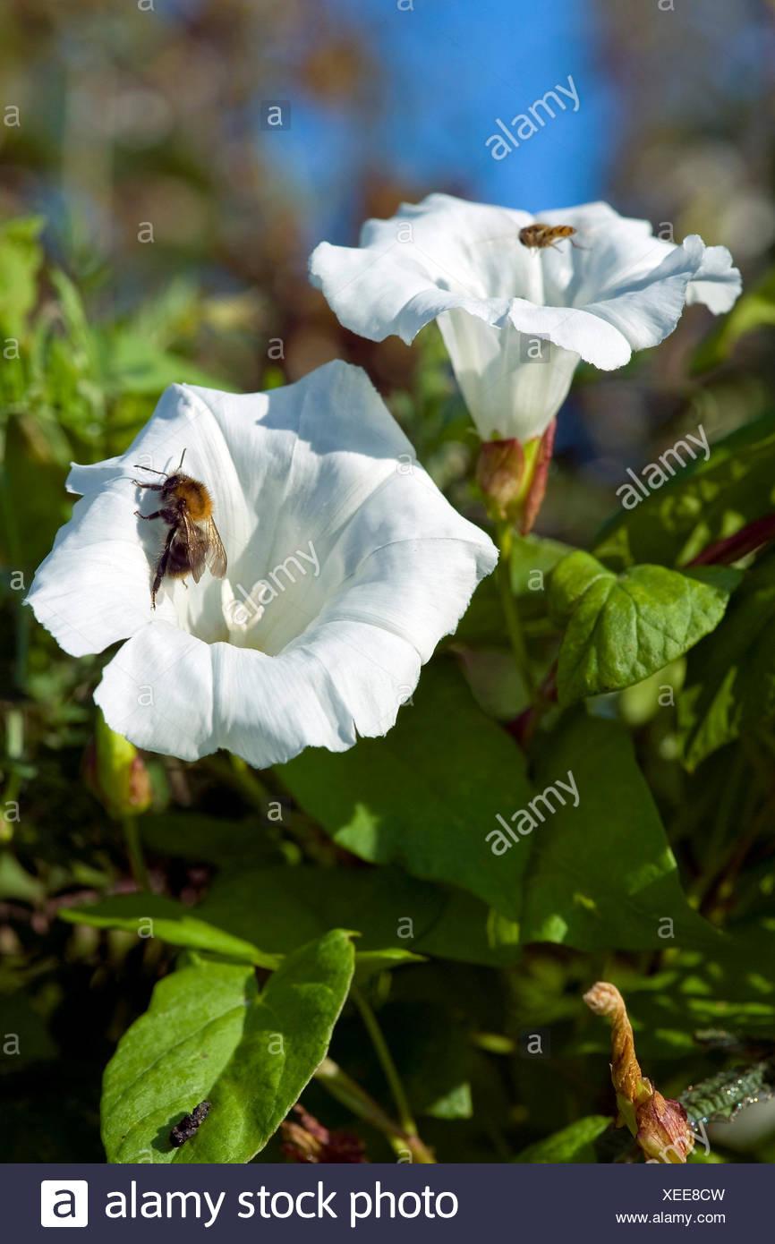 Bellbine, Hedge bindweed, Hedge false bindweed, Lady's-nightcap, Rutland beauty, Greater bindweed (Calystegia sepium, Convolvulus sepium), flower with humble bee, Germany - Stock Image