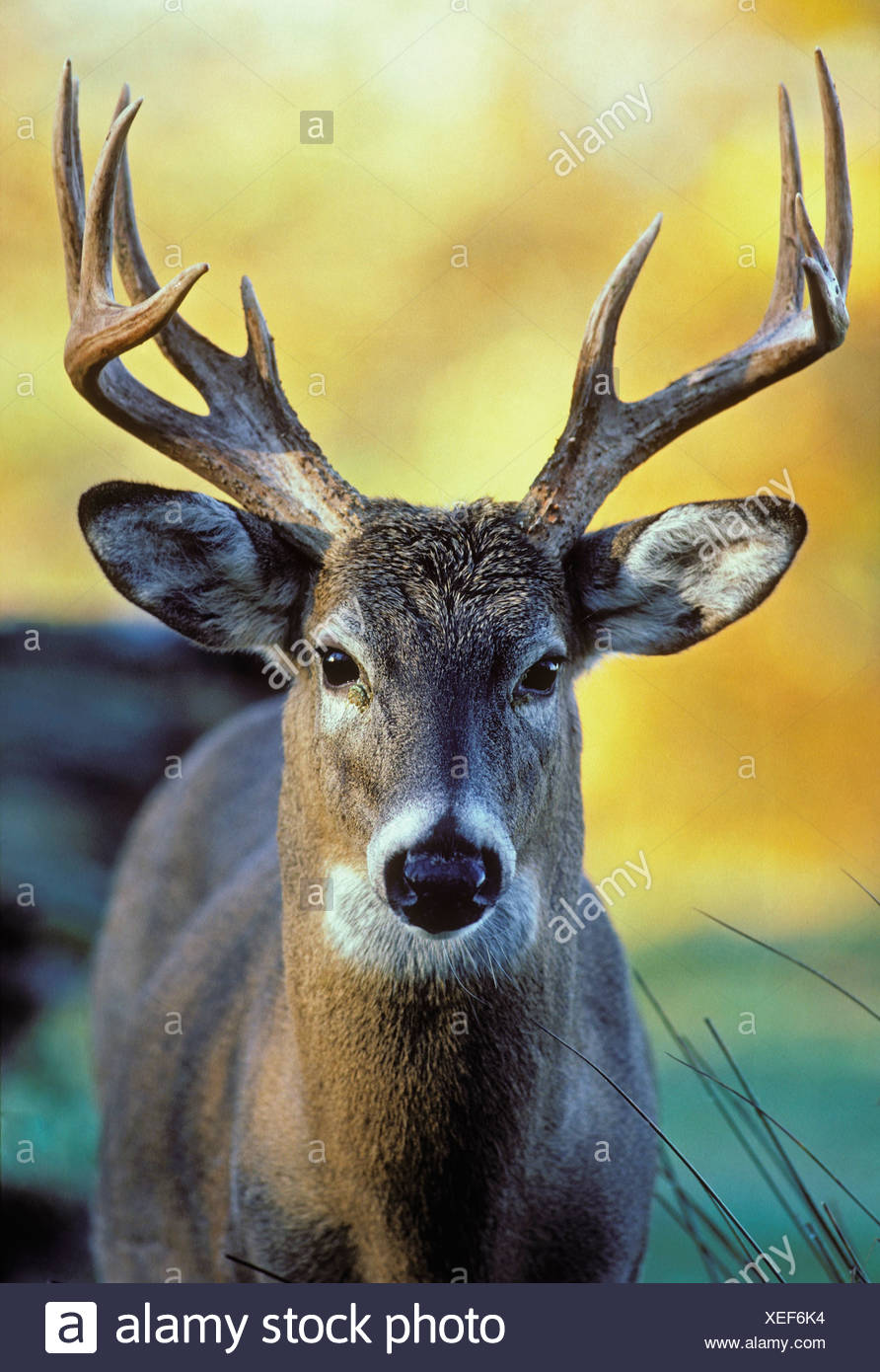 Tk0571, Thomas Kitchin; White-Tailed Deer. Autumn. North America. Odocoileus Virginianus. - Stock Image