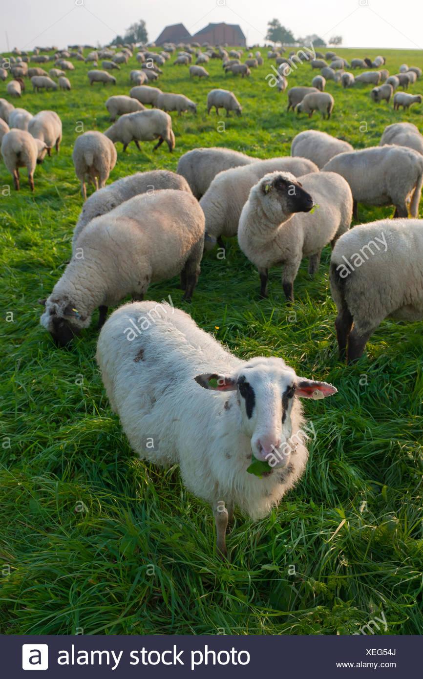German Hampshire, German blackheades mutton (Ovis ammon f. aries), herd in a pasture, Germany, North Rhine-Westphalia - Stock Image