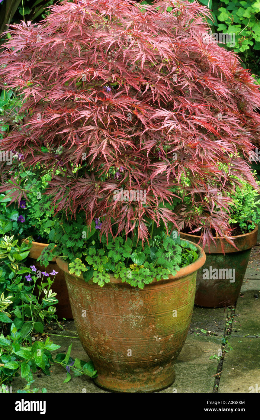 Acer palmatum dissectum in ceramic container planter pot for Maple trees for small gardens