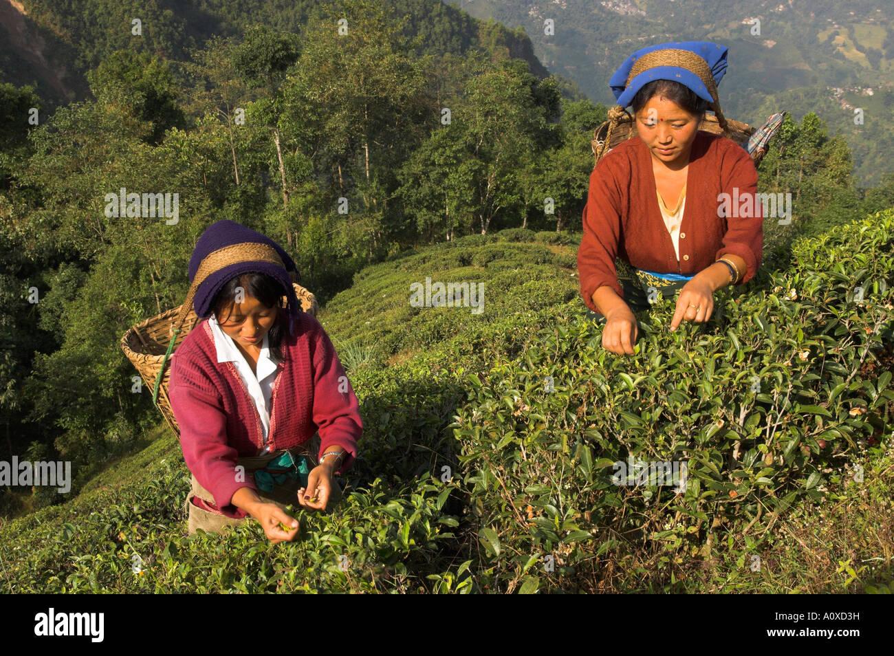India West Bengal Himalaya Range Darjeeling Singtom Tea Garden Women Stock Photo Royalty Free