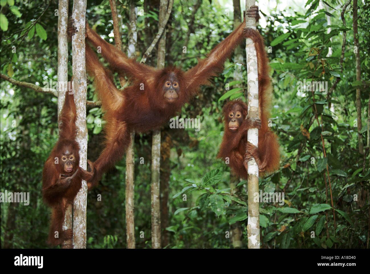 three-juvenile-orangutans-borneo-A18D40.