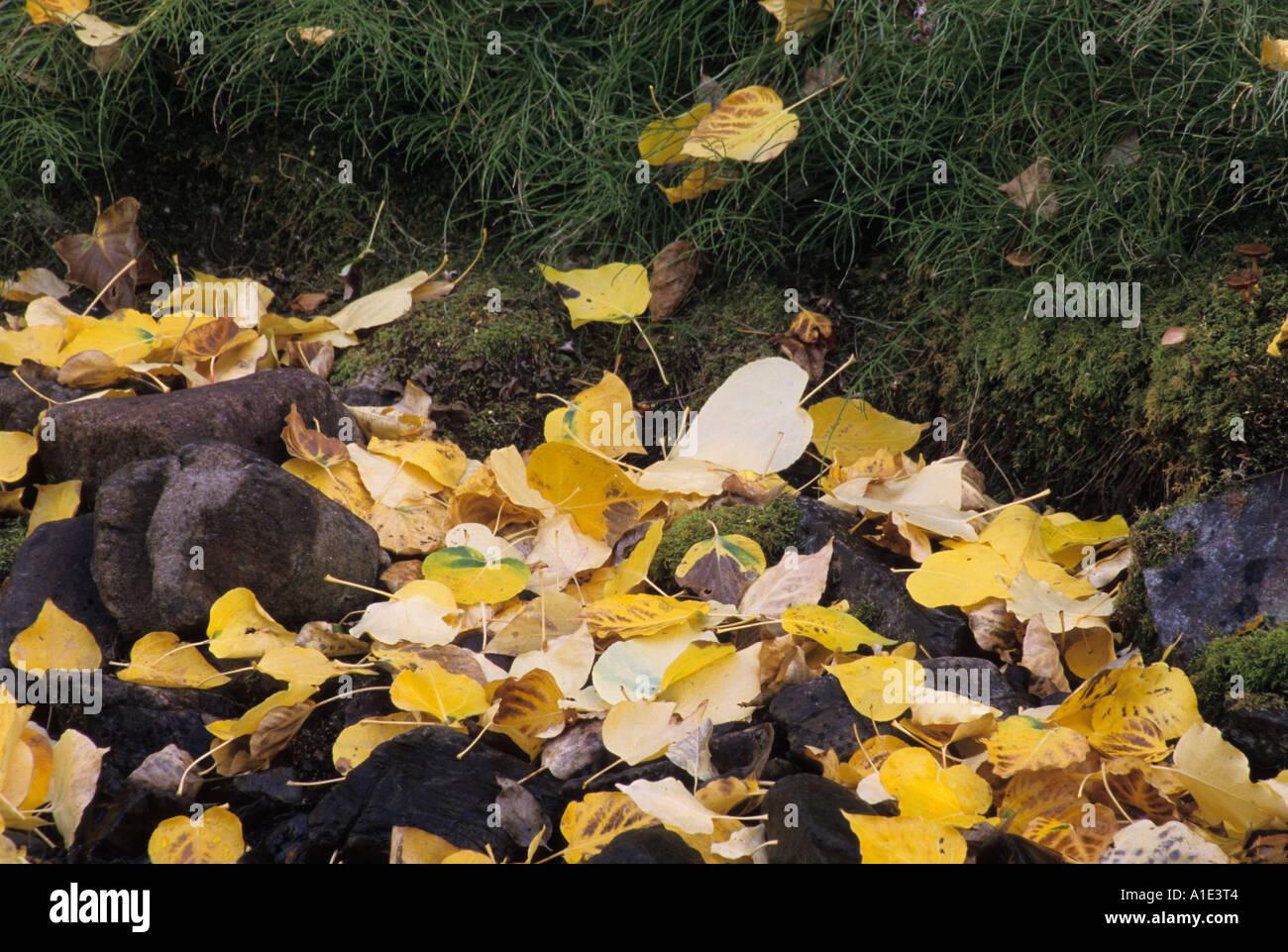 Autumn quaking aspen leaves, McGee Creek, Eastern Sierra, California Stock Photo