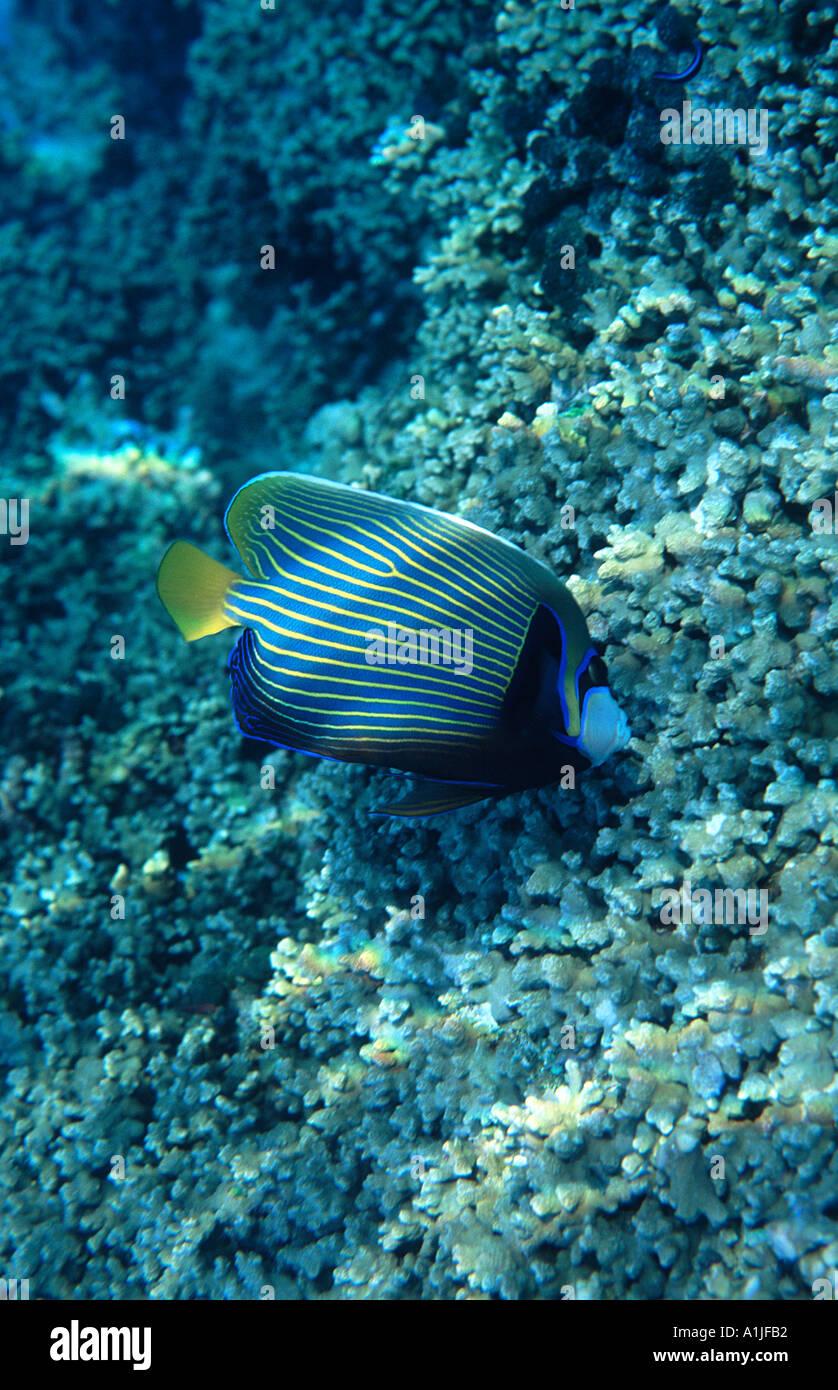 pomacanthus-imperator-emperor-angelfish-
