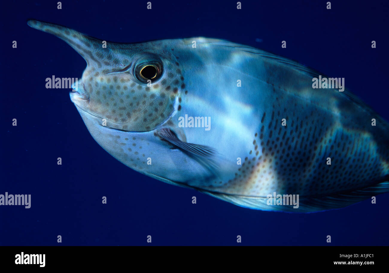 spotted-unicorn-fish-naso-brevirostris-c