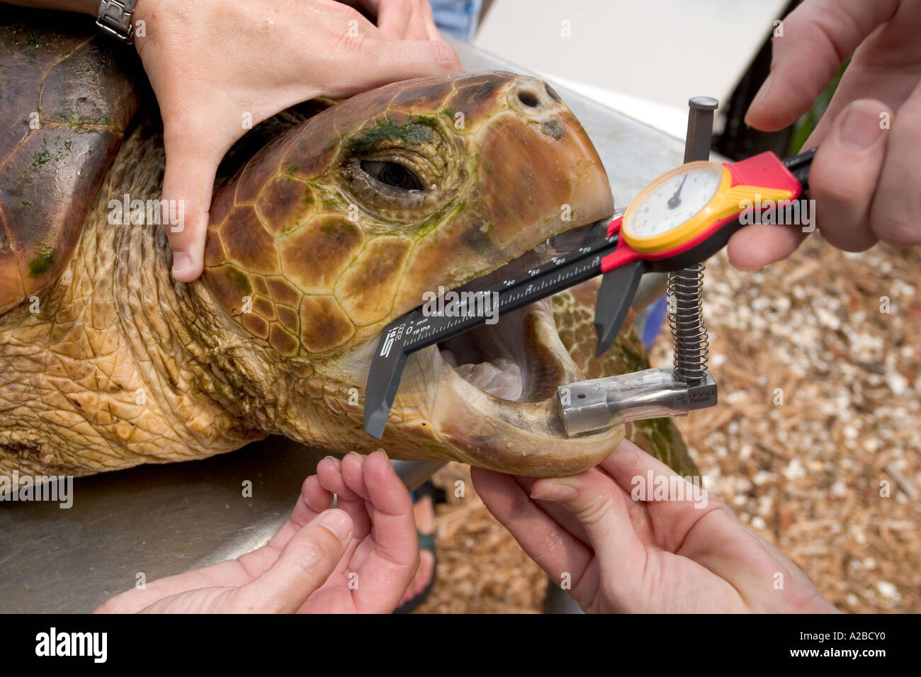 Removing longline fish hook from loggerhead sea turtle for Removing fish hook