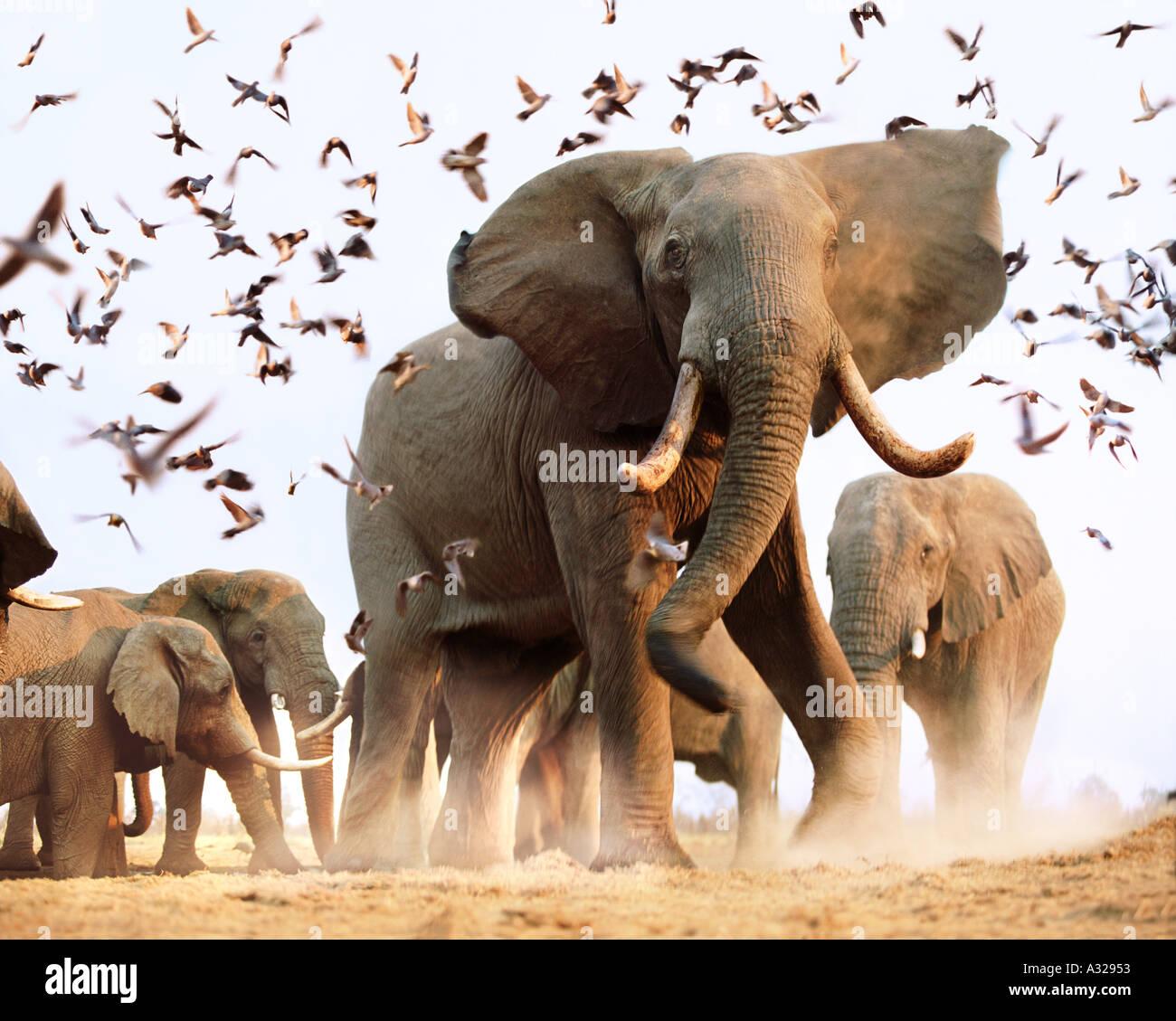 African elephants disturbing flock of birds Savuti Botswana Stock Foto