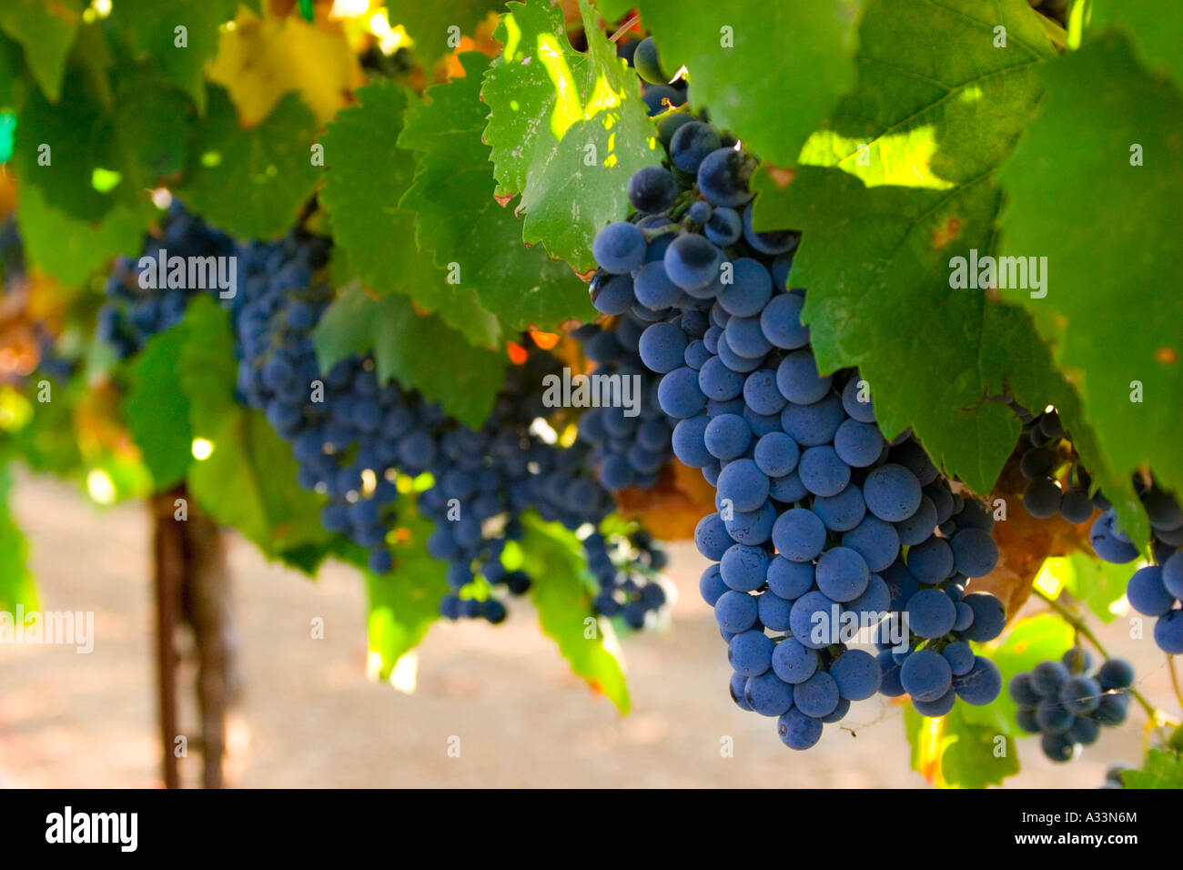 Syrah red wine grapes ripen on the vine in the sacramento for Anthony s italian cuisine sacramento
