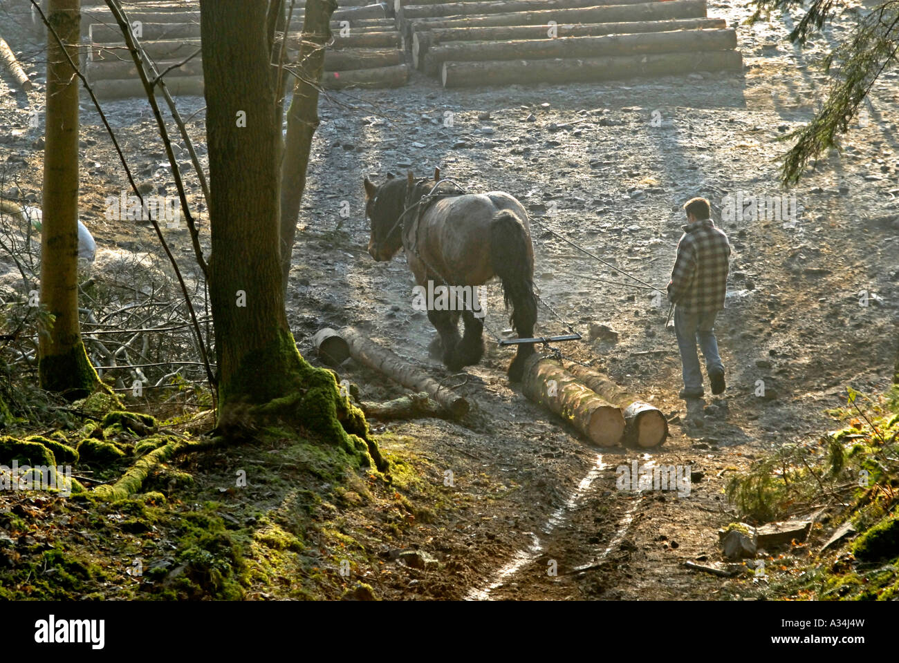 ardennes-draught-horse-stallion-hauling-logs-great-knott-wood-lake-A34J4W.jpg