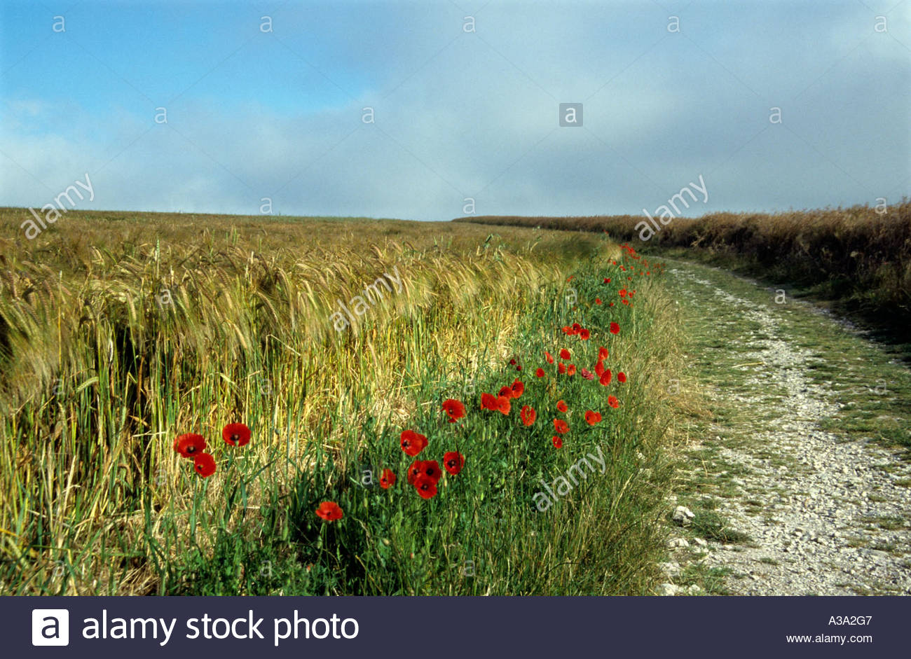 poppies-flowering-beside-the-south-downs
