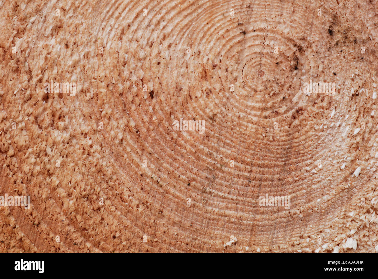 norway-spruce-picea-abies-growth-rings-A