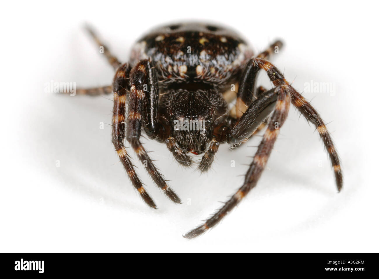 A Nuctenea umbratica spider, Araneidae family, on white background. Head on view. Stock Photo