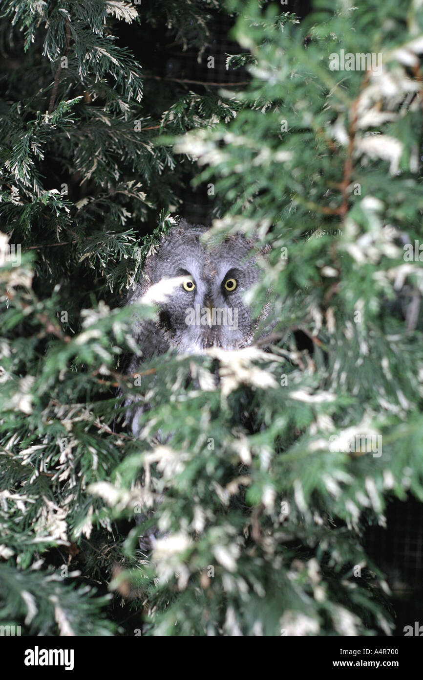 great-grey-owl-almost-hidden-in-foliage-
