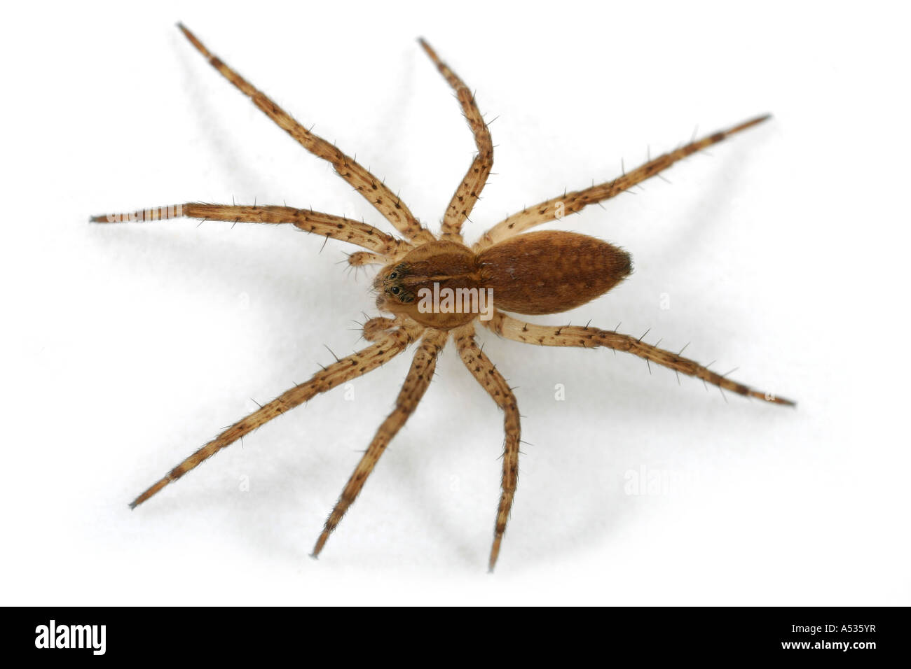 Fen Raft Spider, Dolomedes plantarius, family pisauridae, a big fishing spider on white background. Stock Photo