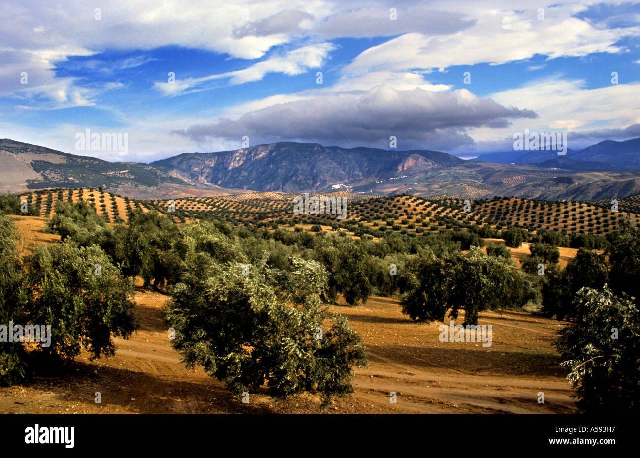 Olive Tree Spain Spanish Landscape Mountains Sun Stock