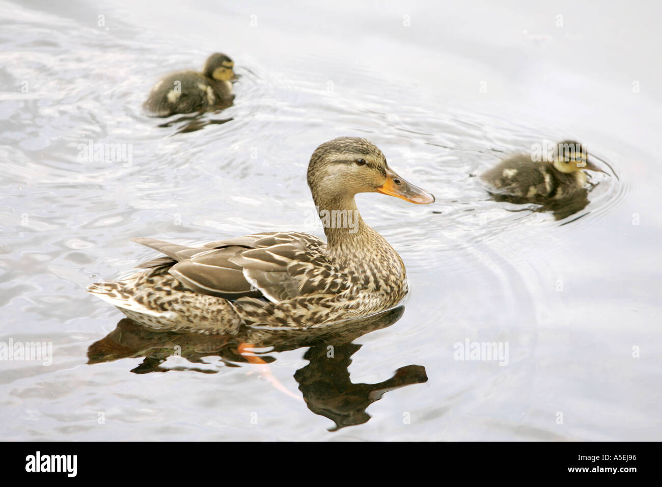 Ducky lucky duck baby ducklings water bird animals family for Duck pond water