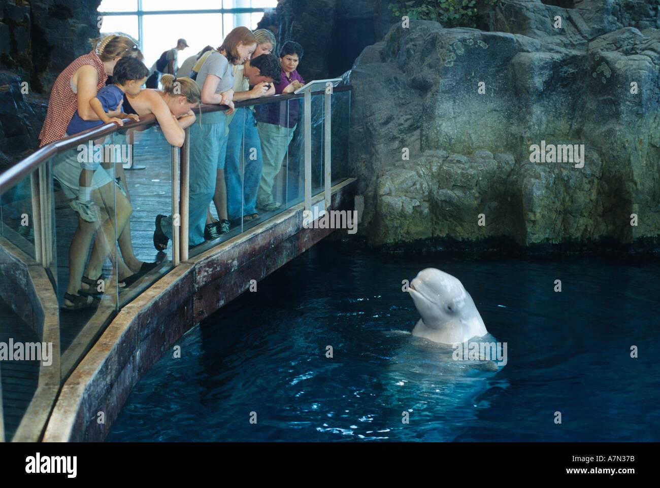 Visitors View A Beluga Whale At The Shedd Aquarium In