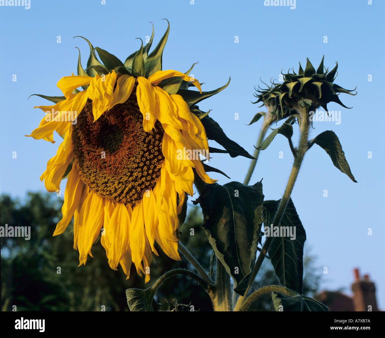 Dead Sun Flower Head Drooping Down Against A Blue Sky
