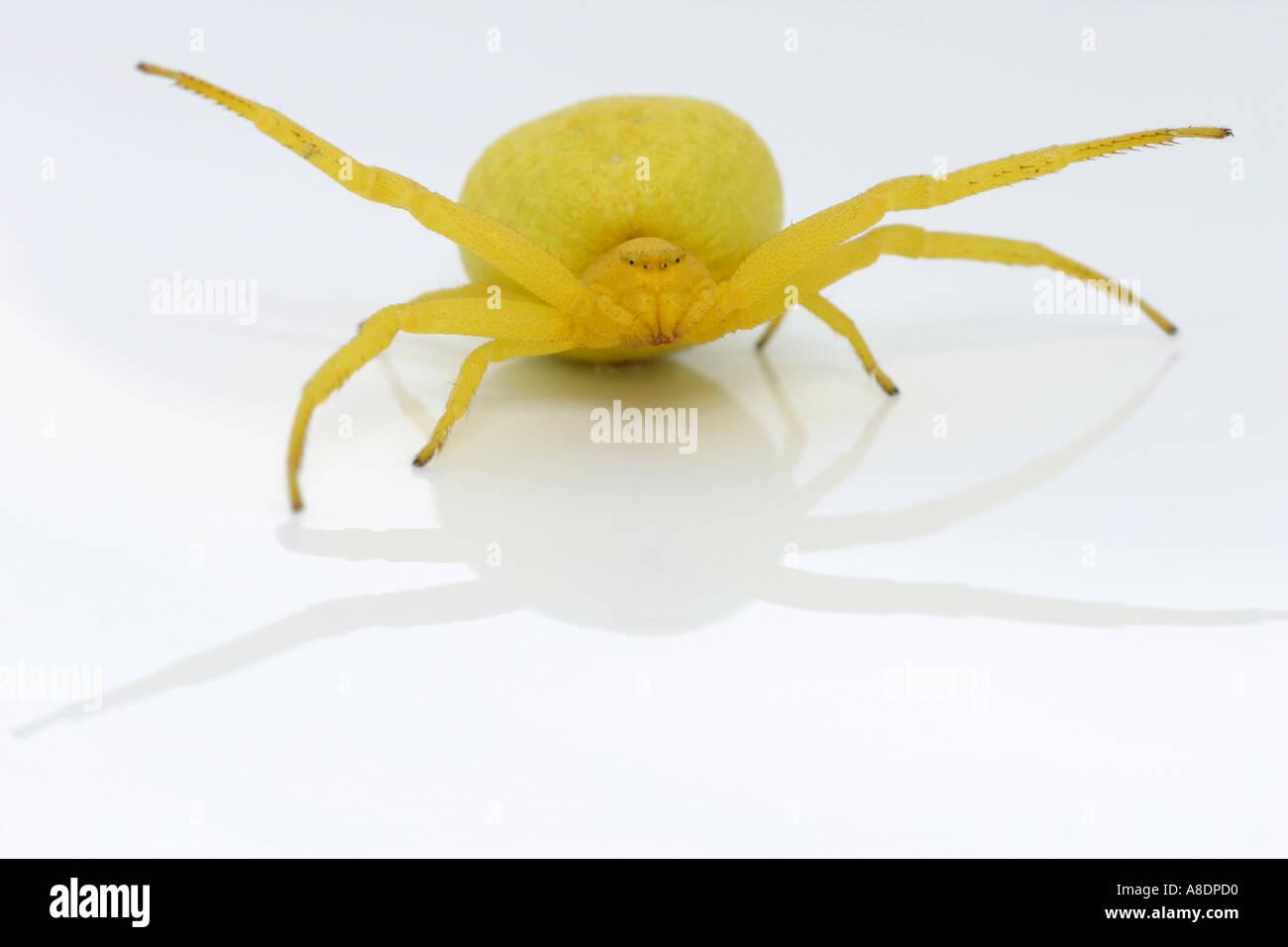 Yellow crab spider, Misumena vatia Stock Photo
