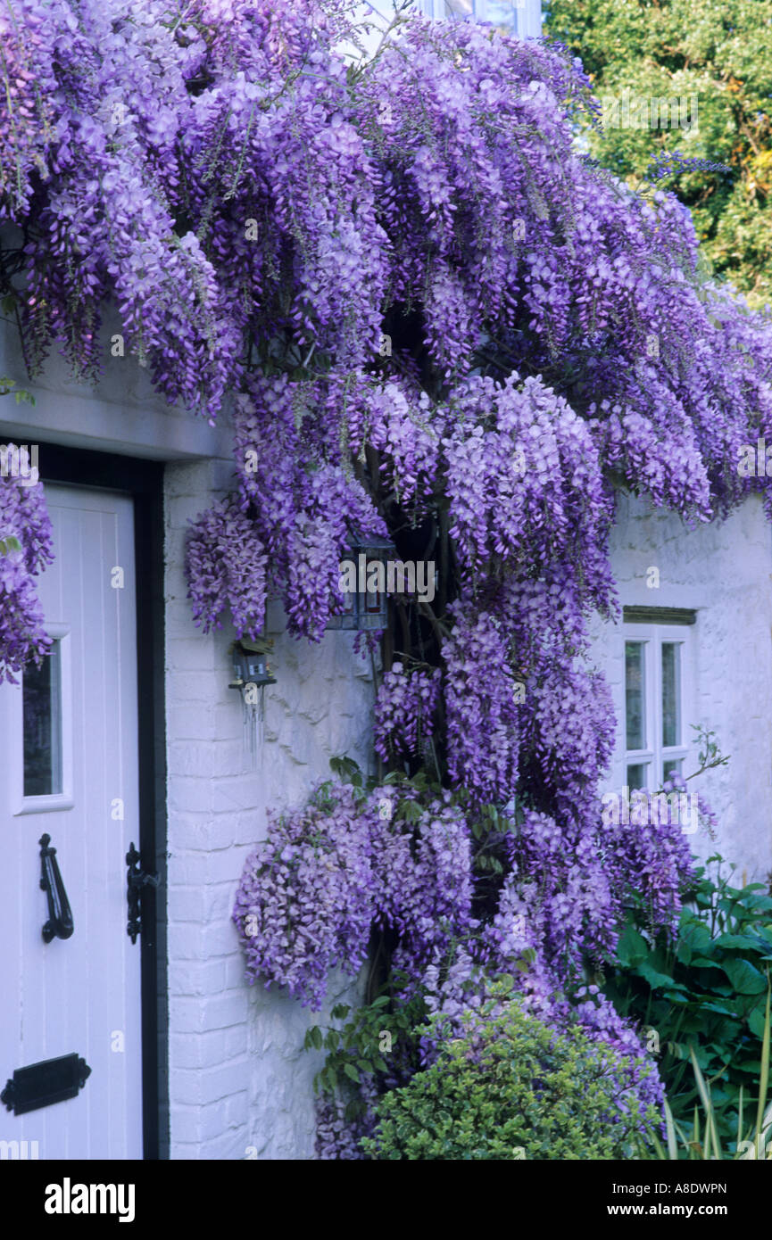 white cottage front with purple wisteria climbing plant flower stock photo royalty free image