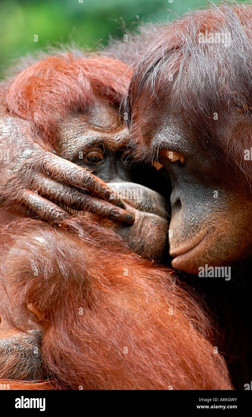Two orangutan hugging Stock Foto