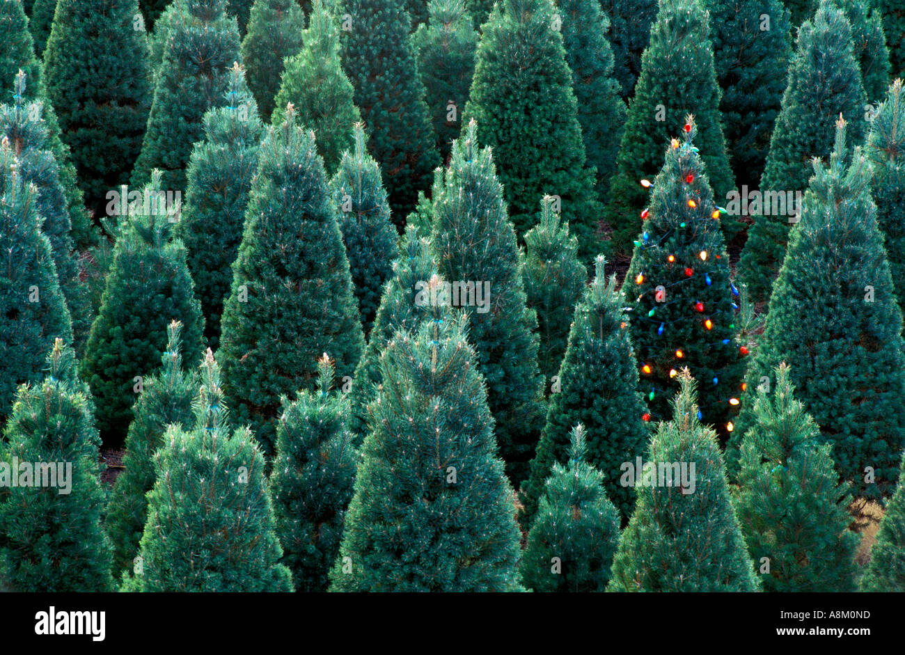 Usa idaho christmas tree farm with one lighted