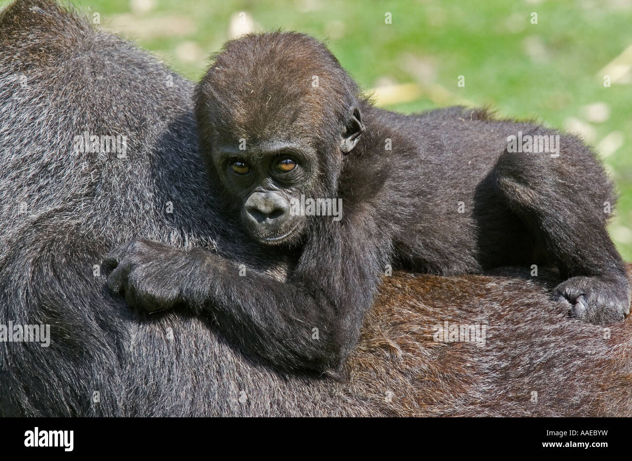 young-gorilla-clinging-to-parents-back-c