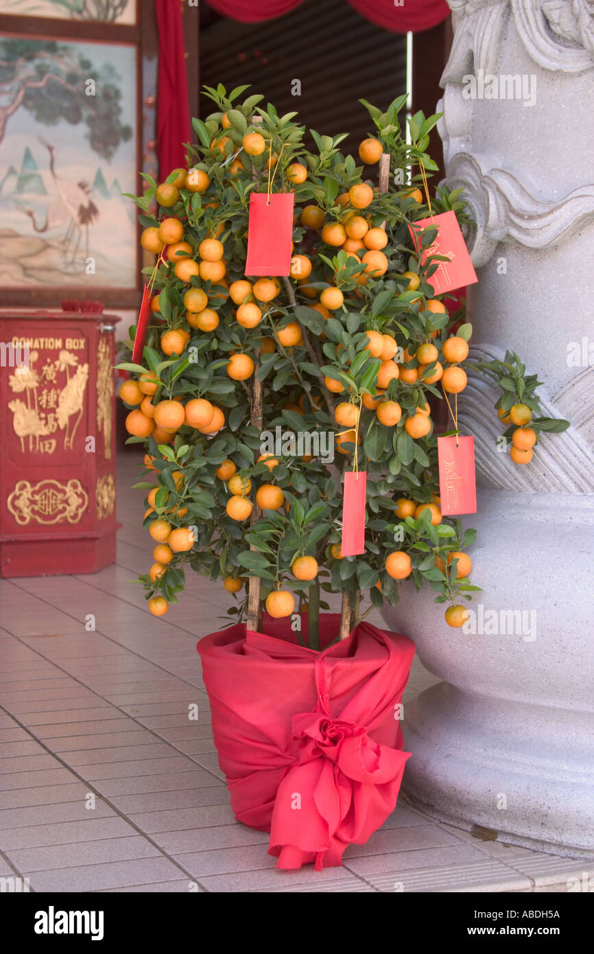 Lime tree decorated with ang pows for chinese new year for Ang pow packet decoration