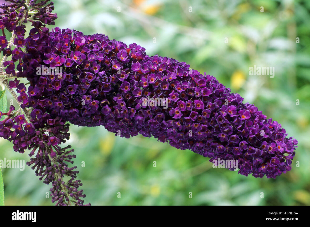 buddleia davidii 39 black knight 39 butterfly bush dark purple flower stock photo 7391689 alamy. Black Bedroom Furniture Sets. Home Design Ideas