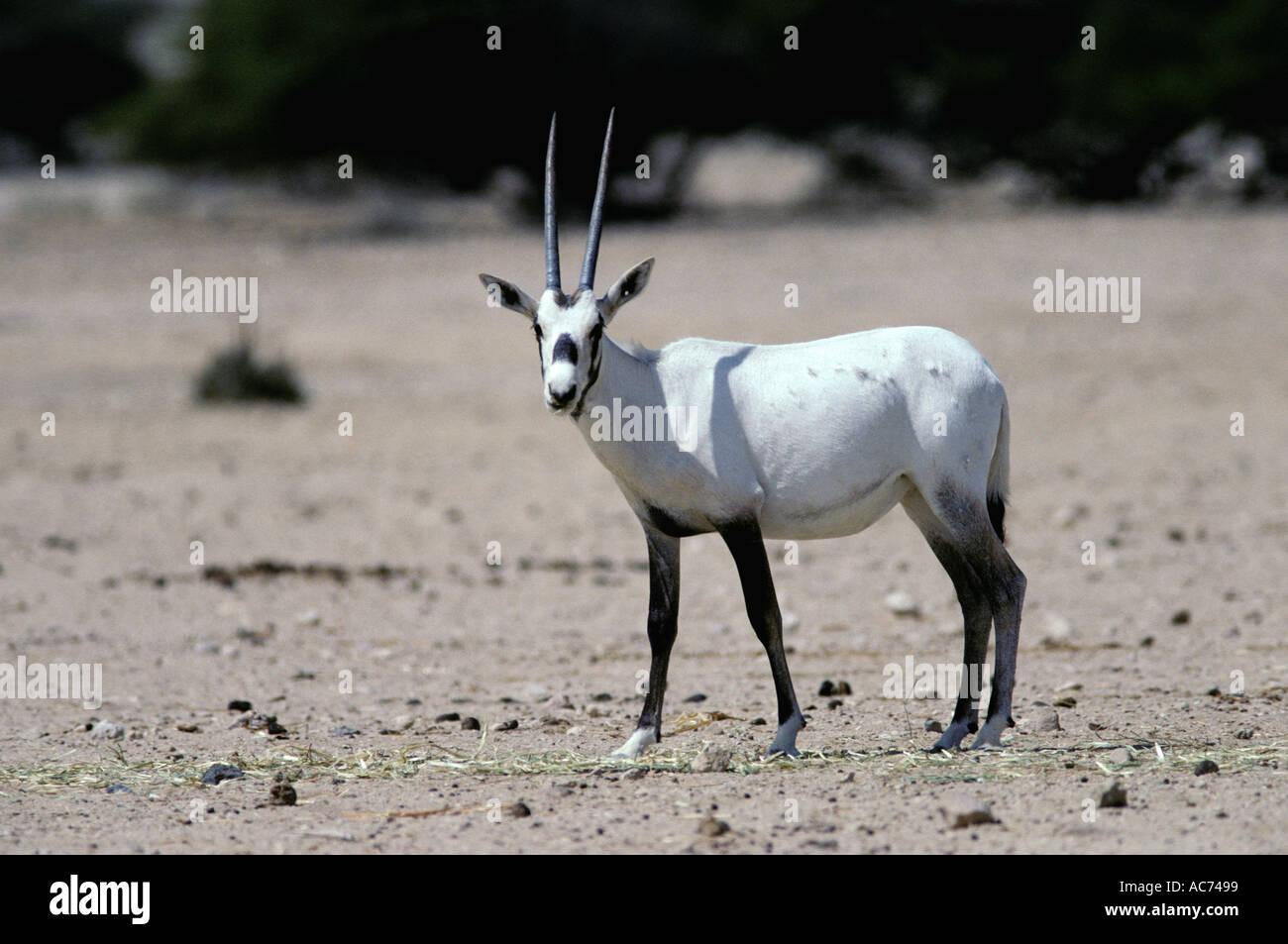 arabian-oryx-oryx-leucoryx-AC7499.jpg