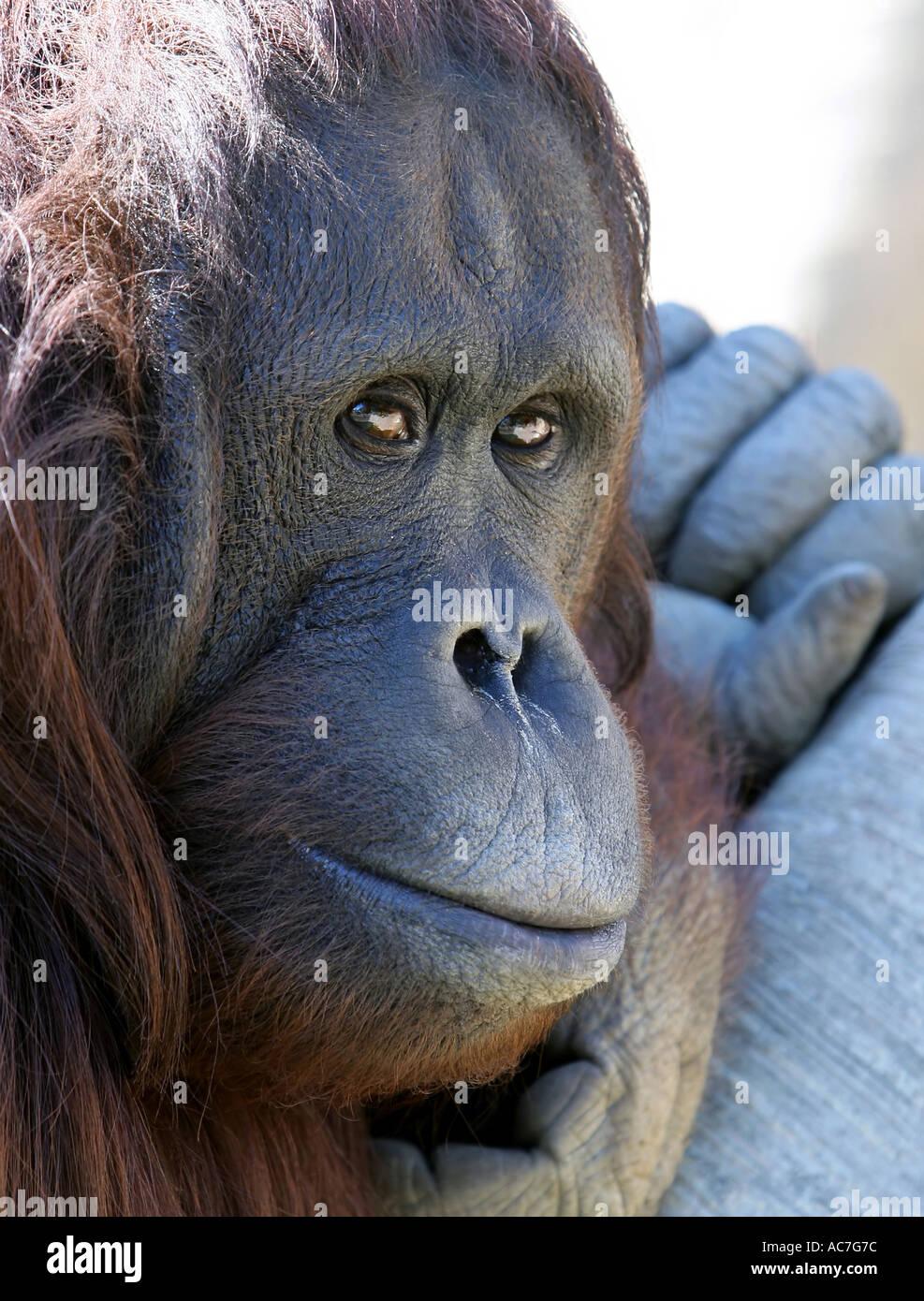 Close up of Orang-utan's Face