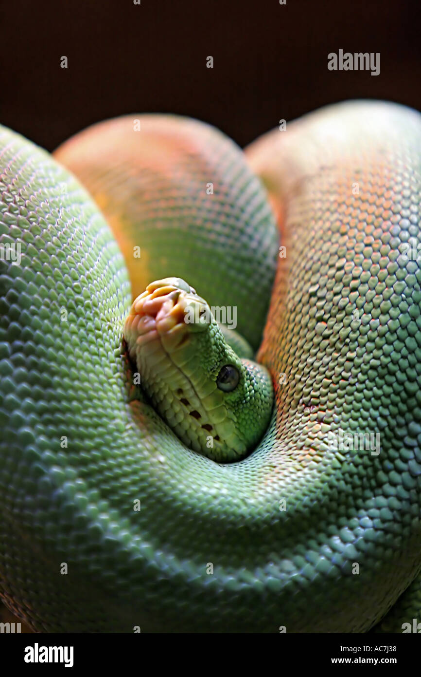 Coiled Green Snake in Glass Case
