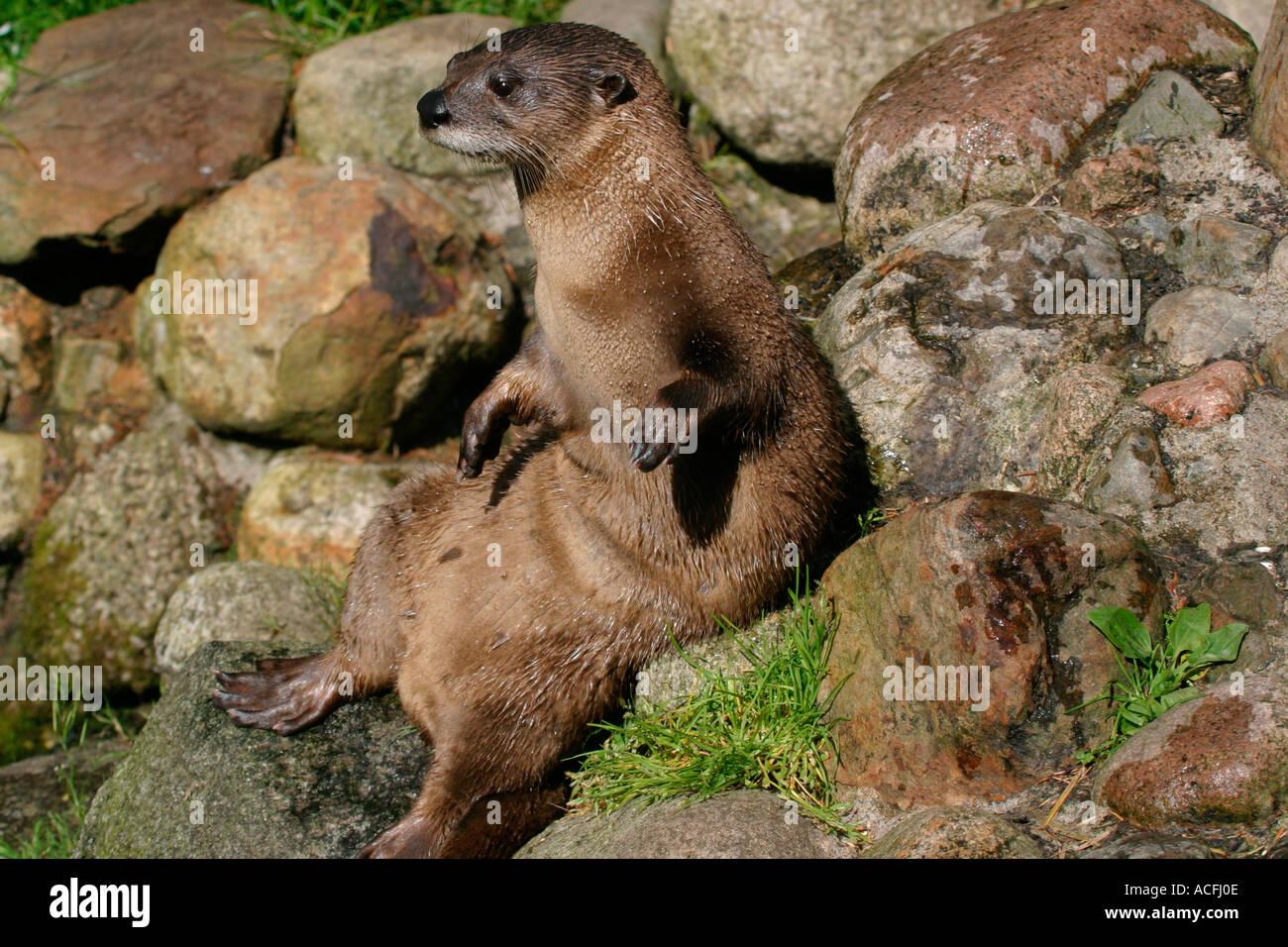 otter-sitting-on-rocks-ACFJ0E.jpg