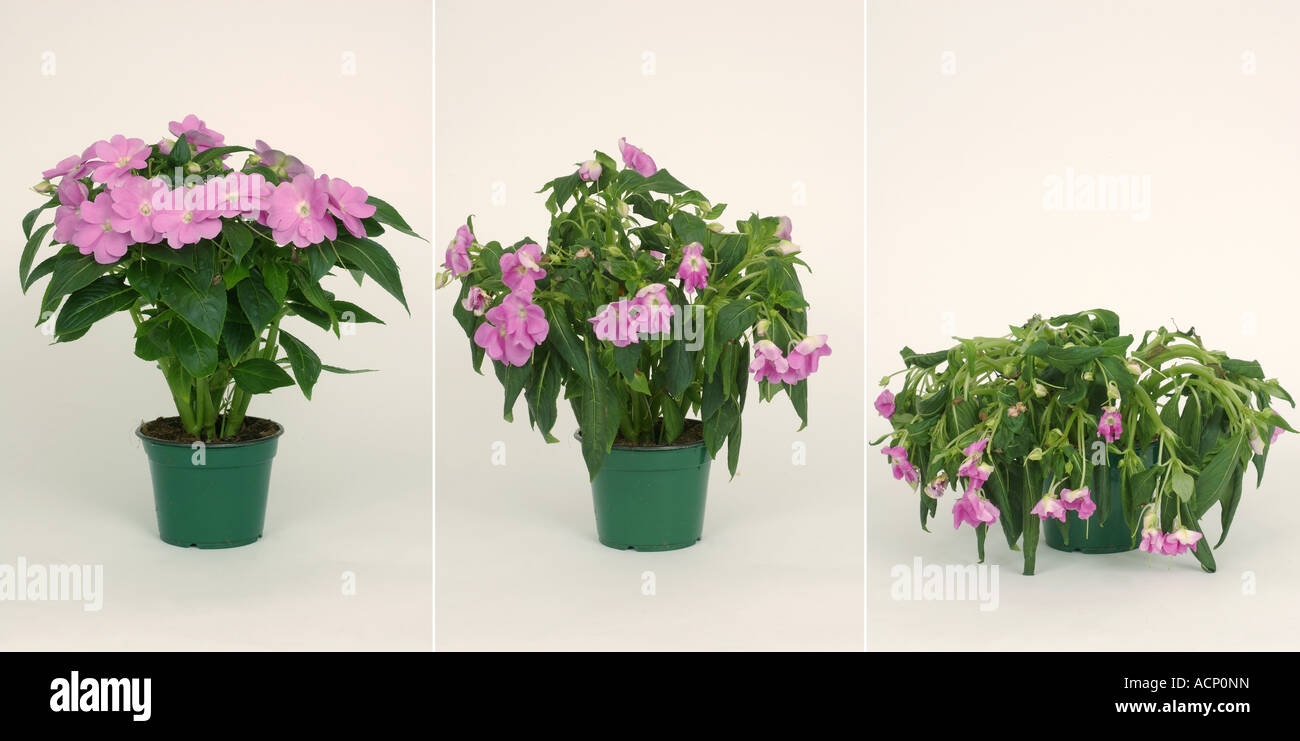 Comparison showing a stages in the wilting collapse of a potted house stock photo royalty free - Seven tricks for healthier potted plants ...