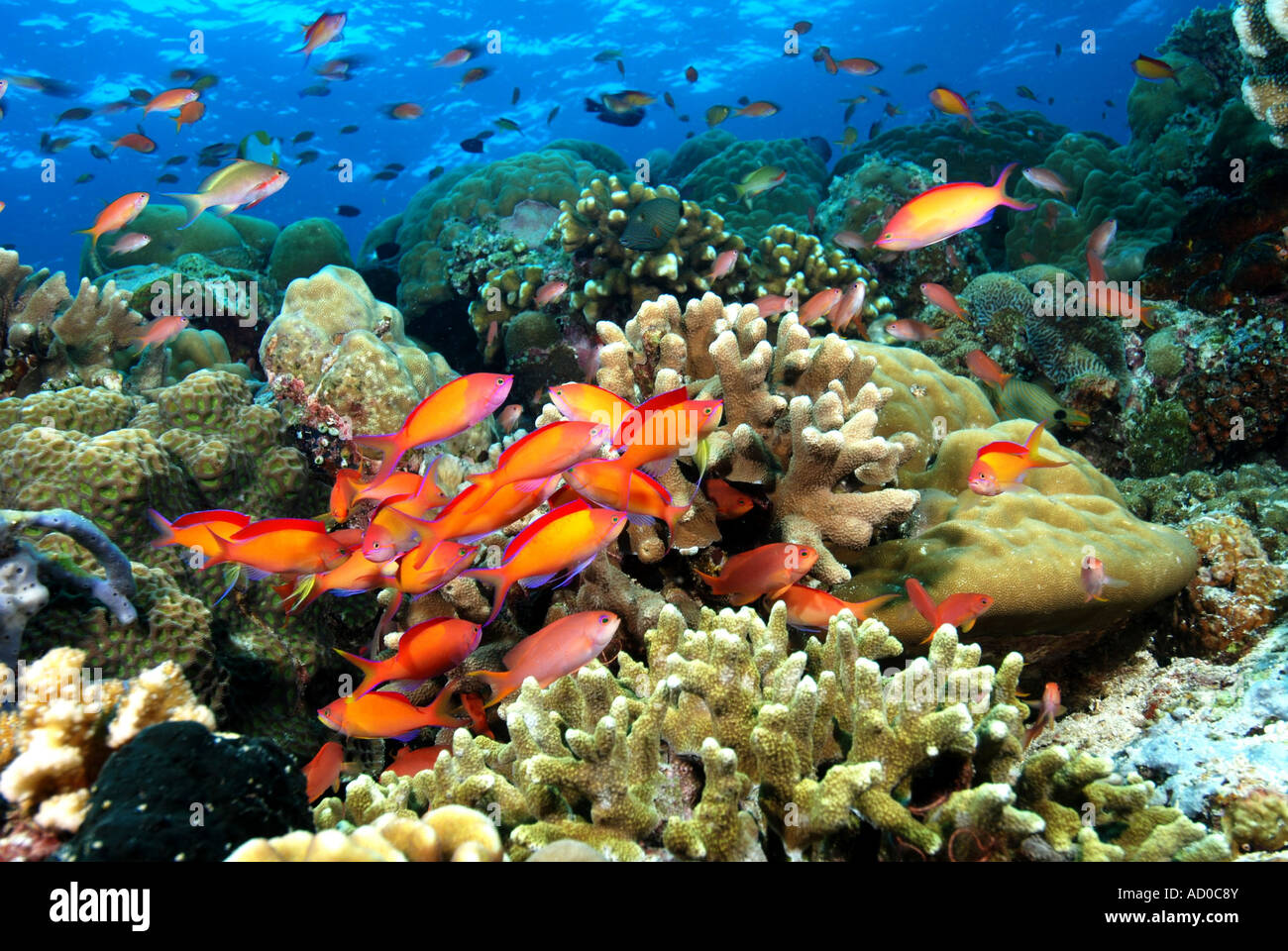 Tropical reef indonesia underwater scuba diving ocean for Reef tropical fish