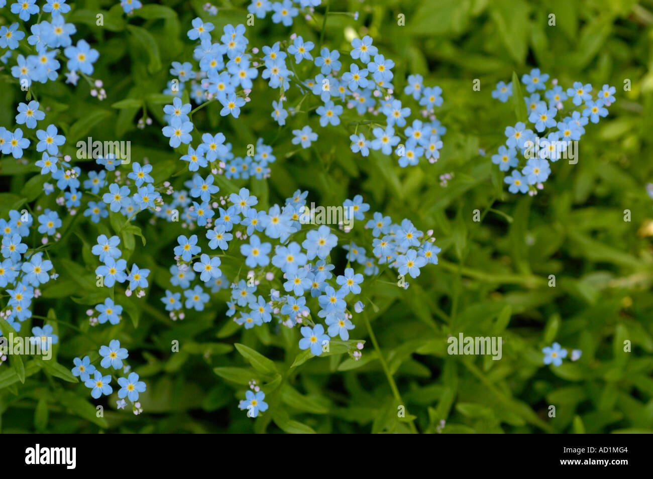 Blue Flowers Alaska State Plant Field For Me Not Plant Stock Roy