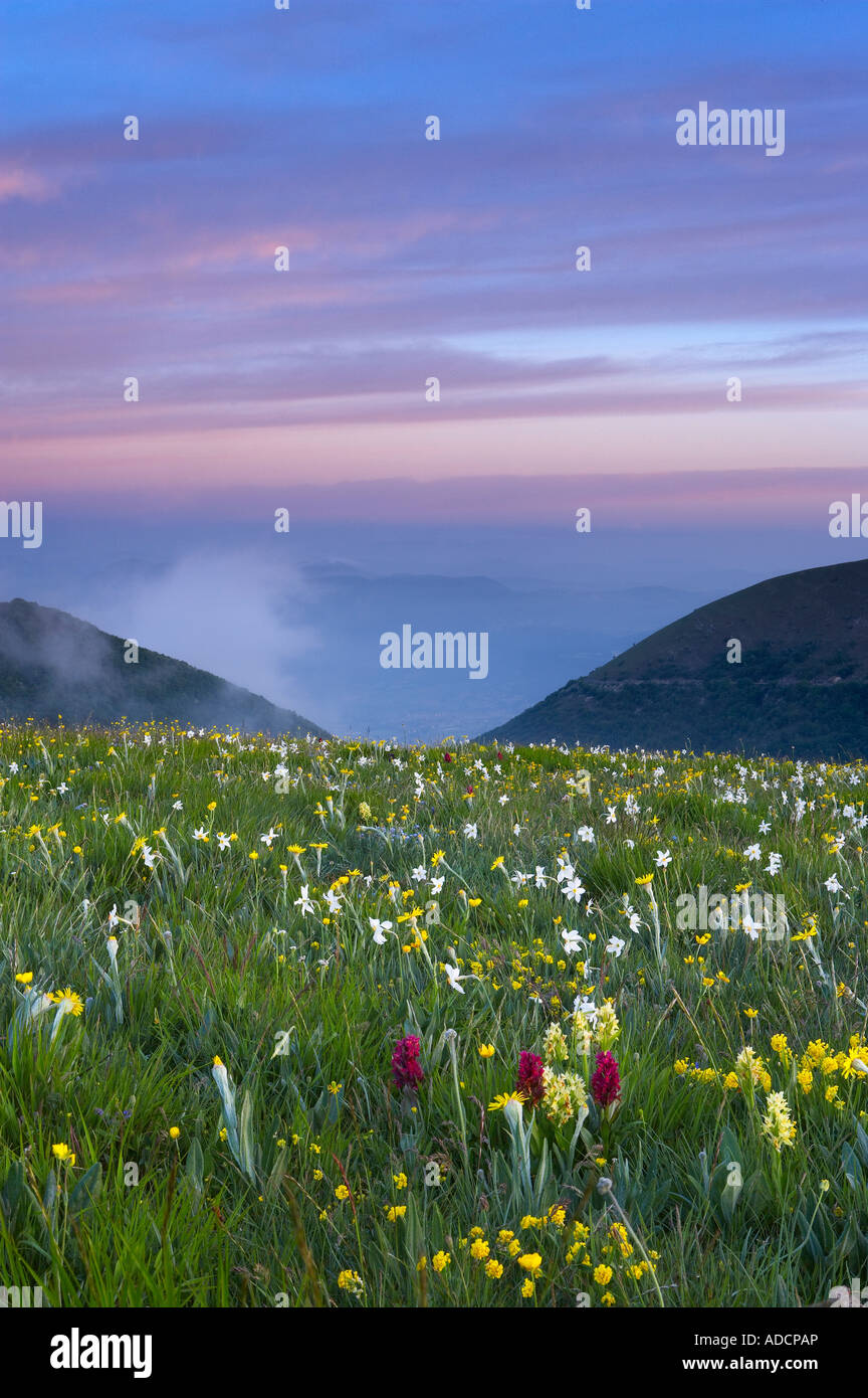 wild flowers growing at the Forca Canapine Monti Sibillini National Park Umbria Italy NR Stock Foto