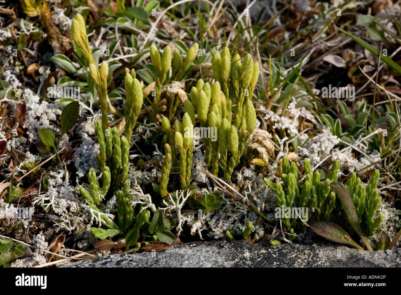 Alpine clubmoss Diphasiastrum alpinum Lycopodium alpinum with fertile branches Scotland Stock Photo